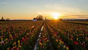 Sonnenuntergang am hölzernen Schuh Tulip Farm Spring Time Lapse stock video