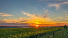 Sonnenuntergang-Himmel über einem Feld von Sonnenblumen stock footage