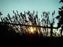 Sonnenuntergang hinter Lavendel Lizenzfreies Stockfoto