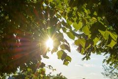 Sonnenuntergang-Hintergrund von grünen frischen Sommerblättern lizenzfreie stockfotos
