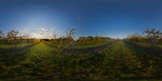 Sonnenuntergang im kugelförmigen Panorama des Apfelgartens Stockfotografie