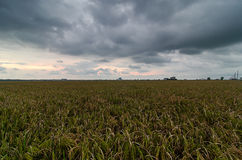Sonnenuntergang im Reisfeld Lizenzfreie Stockfotografie