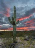 Sonnenuntergang im Saguaro-Nationalpark Tucson stockbild