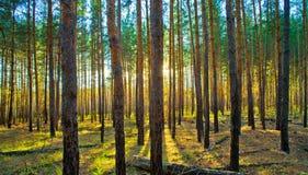 Sonnenuntergang im Wald der schottischen Kiefer Lizenzfreies Stockfoto
