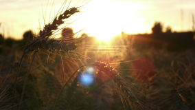 Sonnenuntergang-Korn-Feld lizenzfreies stockfoto