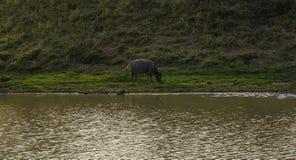 Sonnenuntergang-Lagune und Büffel Stockfoto