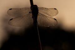 Sonnenuntergang-Libelle Sillhoette Stockfotos