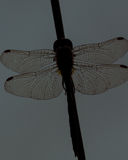 Sonnenuntergang-Libelle Sillhoette Stockbild