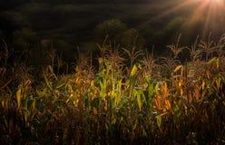 Sonnenuntergang-Mais-Feld Stockbilder