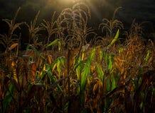 Sonnenuntergang-Mais-Feld Lizenzfreie Stockfotos