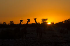 Sonnenuntergang mit Giraffe, Namibia Stockfotos