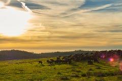 Sonnenuntergang mit Herde von Ziegen stockfotografie