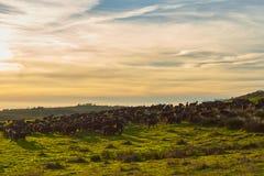 Sonnenuntergang mit Herde von Ziegen lizenzfreie stockfotos