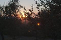 Sonnenuntergang Olive Oil Farm in Vinci, Italien Lizenzfreie Stockfotos