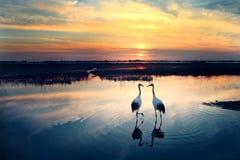 Sonnenuntergang rot-gekrönter Kran Stockfotografie