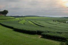 Sonnenuntergang-Tee-Plantage stockbild