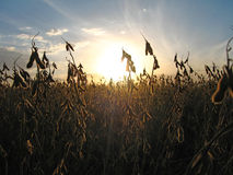 Sonnenuntergang Trought Soyabohne-Hülsen auf dem Gebiet Stockfotos