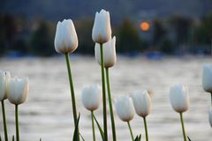 Sonnenuntergang-Tulpen Stockfotografie