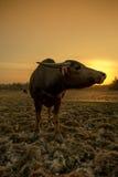 Sonnenuntergang und Büffel Stockfotos