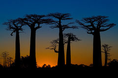 Sonnenuntergang und Baobabsbäume Stockbilder