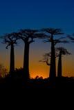 Sonnenuntergang und Baobabsbäume Lizenzfreies Stockfoto