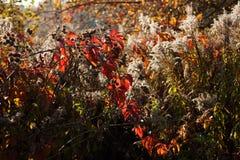 Sonnenuntergang und wilde Gräser Sonnenlicht durch rotes Laub des fünf-leaved Efeus Gelbe, rote, grüne Blätter im Sonnenlicht lizenzfreie stockbilder