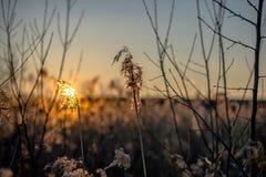 Sonnenuntergang unter den Schilfen Stockfoto
