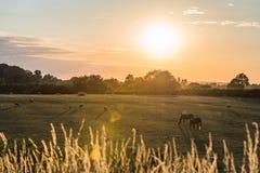 Sonnenuntergangansicht der britischen Landschaft mit Pferden und Schafen auf Feld in England stockfoto