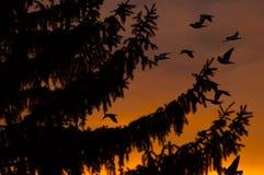 Sonnenuntergangansicht eines Tannenbaum- und -vogelfliegens Stockfotografie