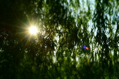Sonnenuntergangbaum Stockfotografie