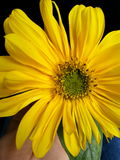 Sonnenuntergangblume, die auf meiner Hand aufwirft Lizenzfreie Stockfotografie