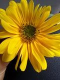 Sonnenuntergangblume, die auf meiner Hand aufwirft Stockfotos