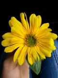 Sonnenuntergangblume, die auf meiner Hand aufwirft Stockbild