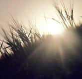 Sonnenunterganggras Stockfoto