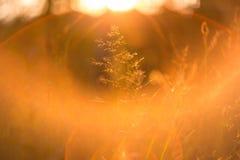 Sonnenunterganggras unter weichem Sonnenlicht und Sonne strahlt aus Stockfotografie