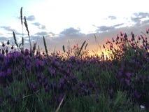 Sonnenunterganglavendelfeld lizenzfreie stockbilder