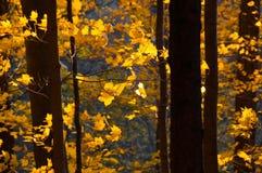 Sonnenunterganglicht, welches das gelb-orangee rote Laub des Herbstwaldes färbt stockbilder