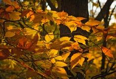 Sonnenunterganglicht, welches das gelb-orangee rote Laub des Herbstwaldes färbt stockfoto