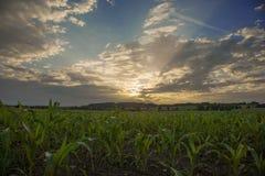 Sonnenuntergangmais mais Feld, Baum im Bayern Lizenzfreie Stockfotografie