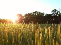 Sonnenuntergangroggen Stockfotos