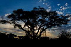 Sonnenuntergangschattenbild von Akazienbäumen in der afrikanischen Savanne stockfotos