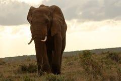 Sonnenuntergangshaltung eines Bush-Elefanten stockfotos