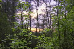 Sonnenuntergangsommersonne im Laub stockfoto