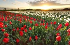 Sonnenuntergangsonnenschein über Tulpenfeld lizenzfreie stockfotos