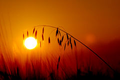 Sonnenuntergangweizen Lizenzfreies Stockbild