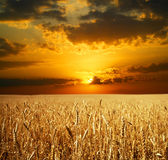 Sonnenuntergangweizenfeld Stockbild