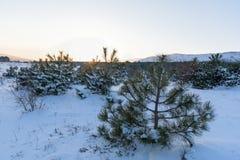 Sonnenuntergangwinterlandschaft im Kiefernwald lizenzfreie stockfotos