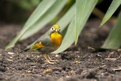 Sonnenvogel oder japanische Nachtigall Stockfotos