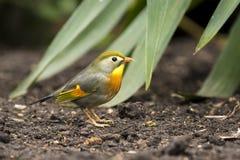 Sonnenvogel oder japanische Nachtigall Lizenzfreies Stockfoto