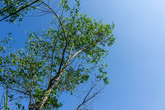 Sonneratia trees. On riverside thailand royalty free stock image
